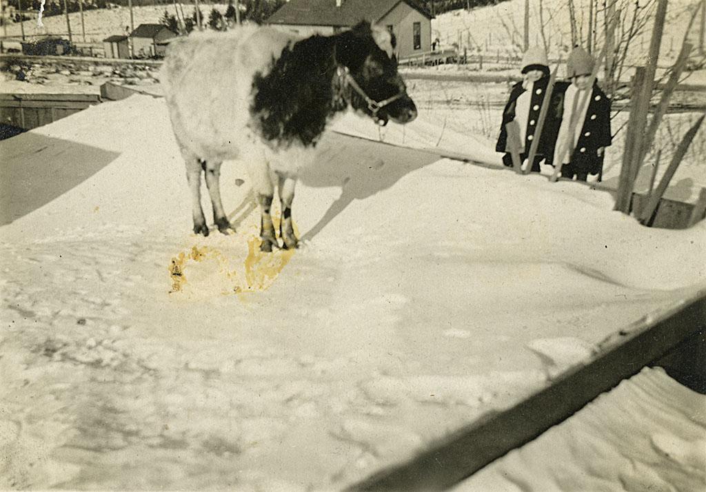 "Robinson Family Cow ""Bessie,"" Twins Lita and Rita."